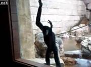 縄を使い勢いを付けてガラス越しに飛んでくる猿がすごい!