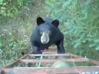 ハシゴを登る熊