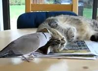 寝ようとするネコにちょっかいを出す鳥
