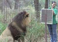 ネコ科動物に鏡を見せてみる