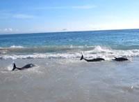 砂浜に迷い込んできたイルカを救助