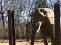 糞を鼻で投げ飛ばず象