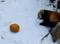 かぼちゃに体当たりするレッサーパンダ
