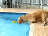 プールに浮かぶボールを取ろうする犬が可愛い