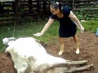 女性に顔面蹴りを入れる牛