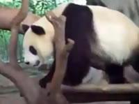 寝ているパンダの上からにおしっことうんち