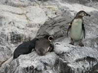 突き落とされたペンギン