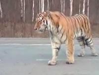 ロシア 道路をうろつくトラ