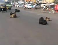 道路の真ん中に堂々と寝転ぶ牛