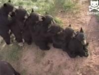 肩をつかみ一列になるクマ達