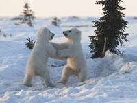 可愛い白クマの赤ちゃん