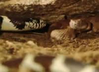 キングヘビ VS ガラガラヘビ