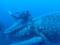 ジンベイザメにめ絡まったロープを外すダイバー