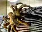 おやつは・・巨大クモ